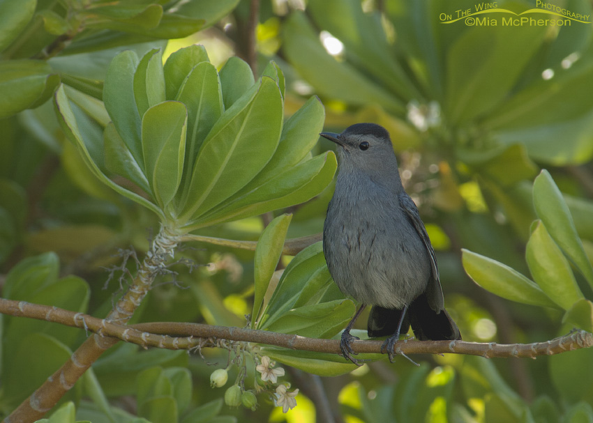 Gray Catbird on Half Moon Cay