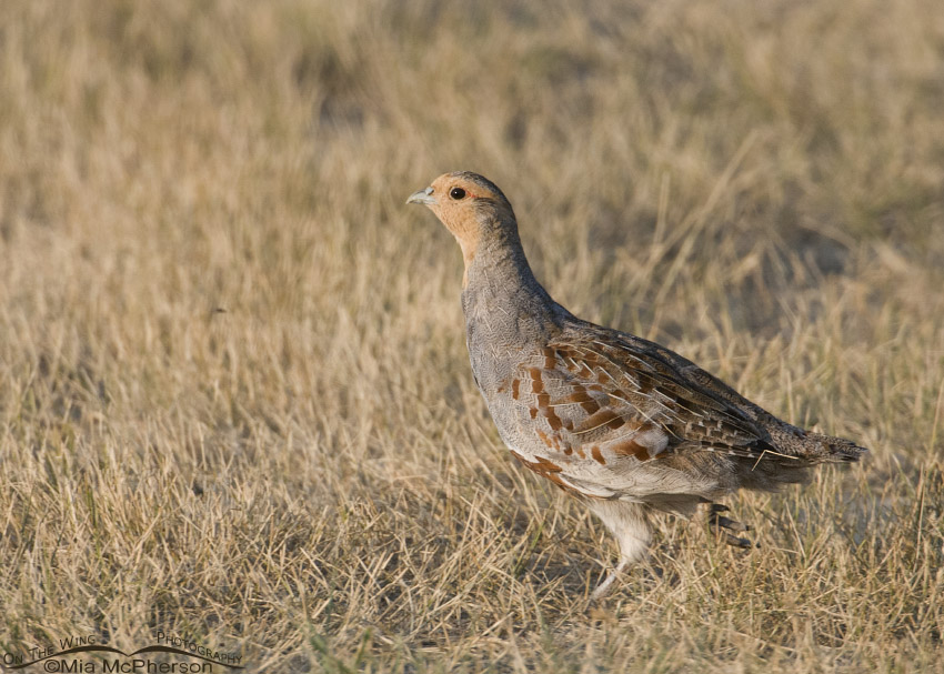 Adult Gray Partridge running through a field