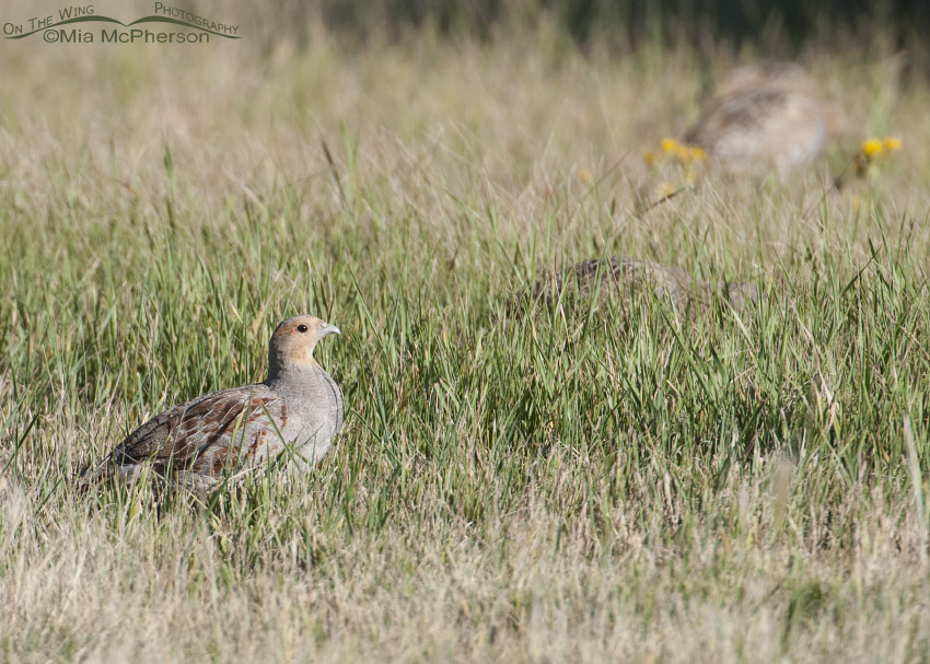 Gray Partridge in Montana