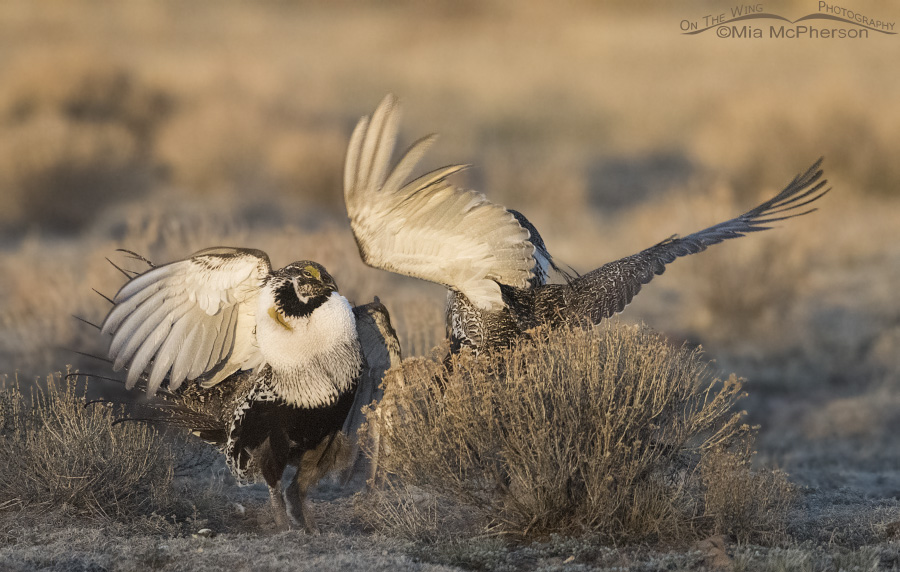 Greater Sage-Grouse with wings a flying
