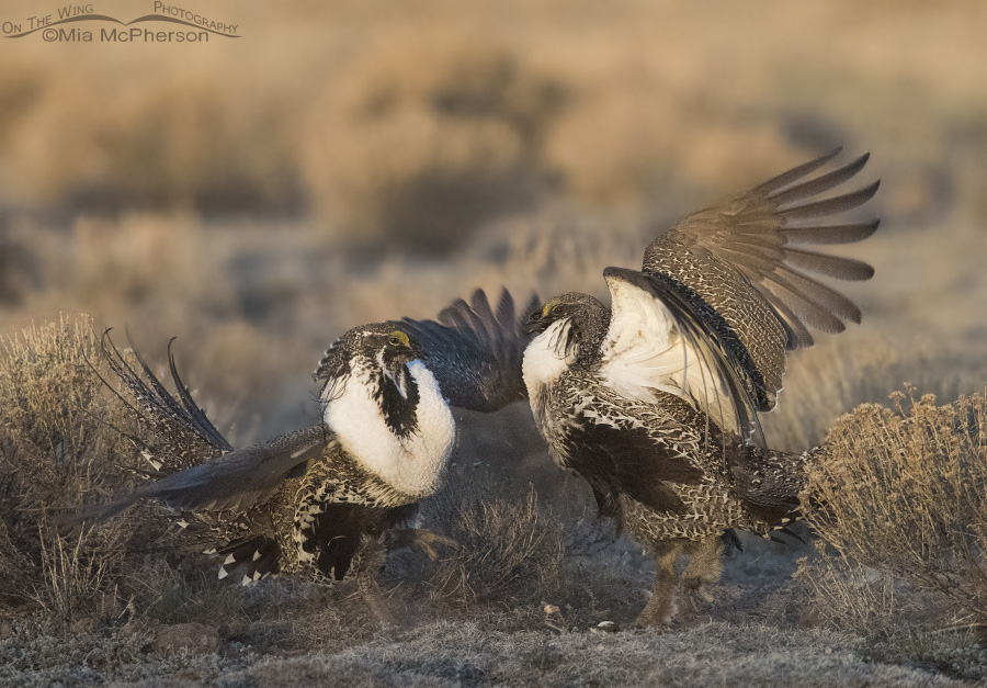 Greater Sage-Grouse males on the lek at sunrise