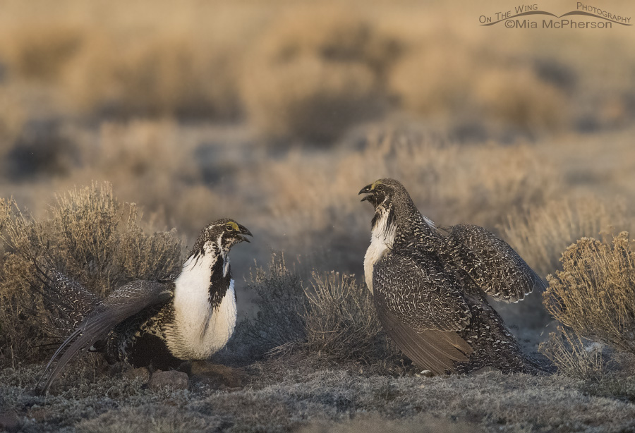 Greater Sage-Grouse as the sun rises