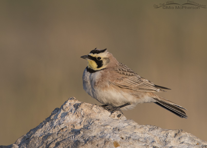 A Horned Lark in soft morning light