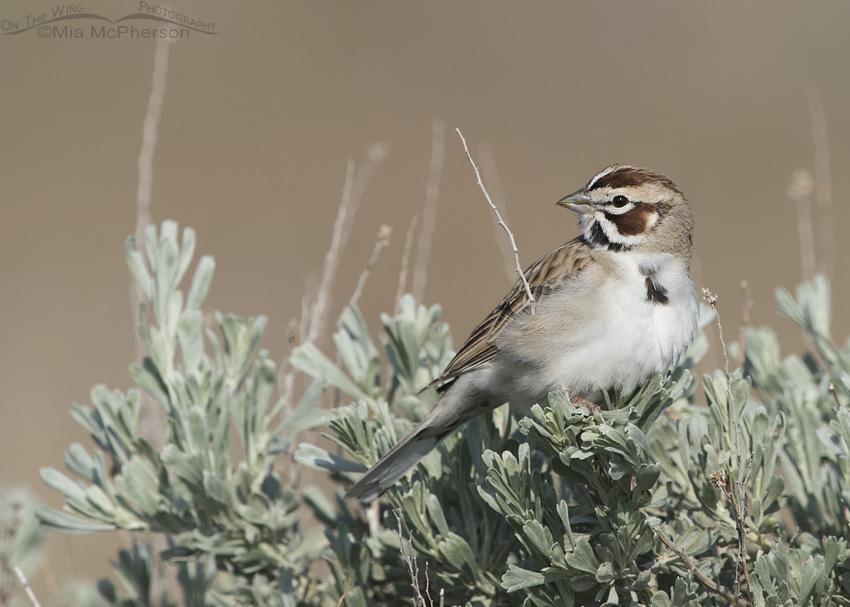 Resting Lark Sparrow