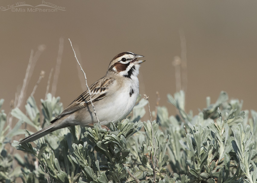Singing Lark Sparrow