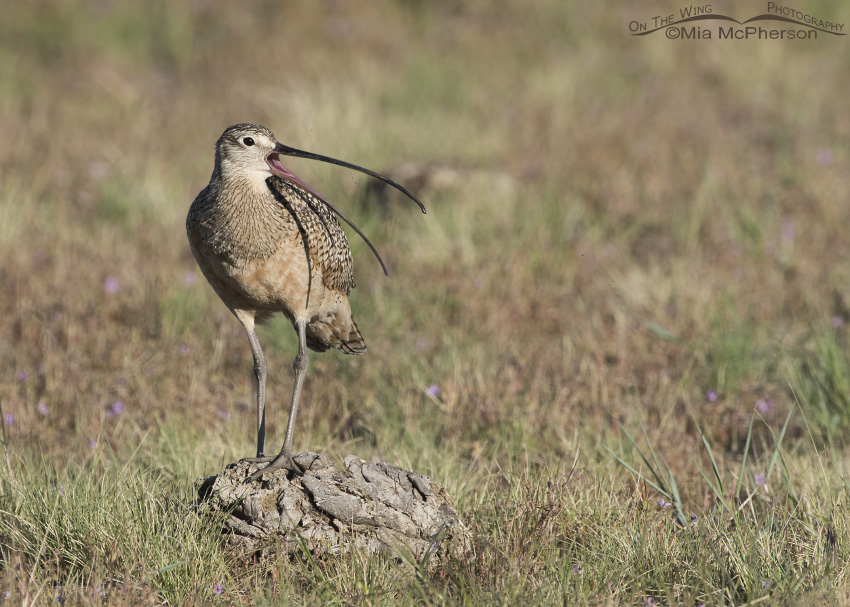 A Long-billed Curlew calling from a bison pooh perch