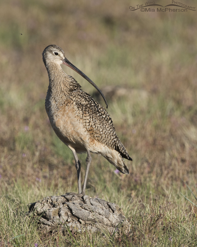 A Long-billed Curlew perched on dried Bison pooh