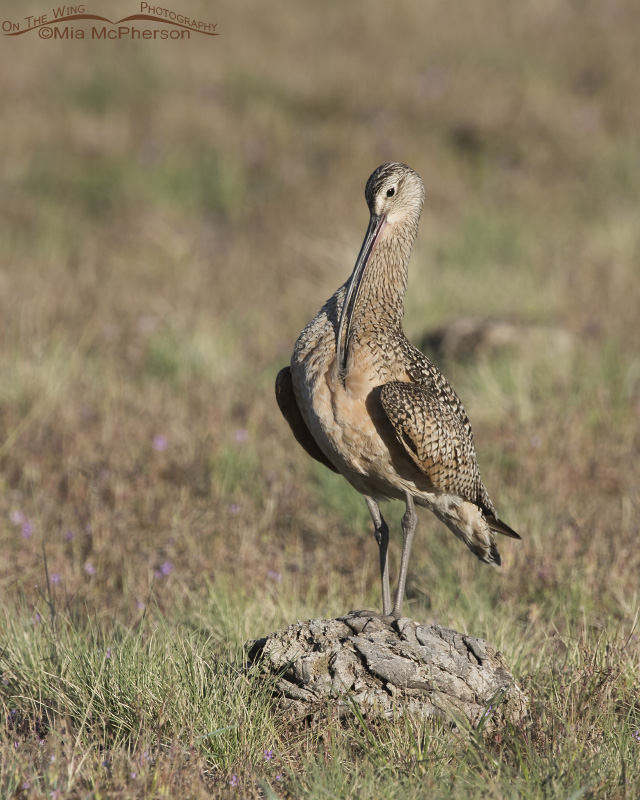 A Long-billed Curlew preening on dried bison pooh
