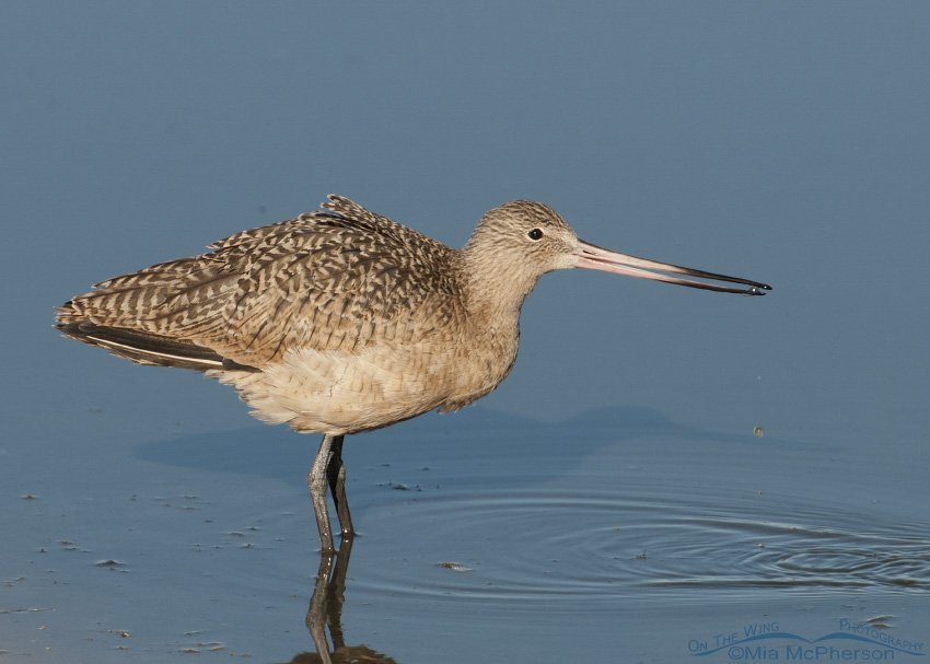 Marbled Godwit at Farmington Bay
