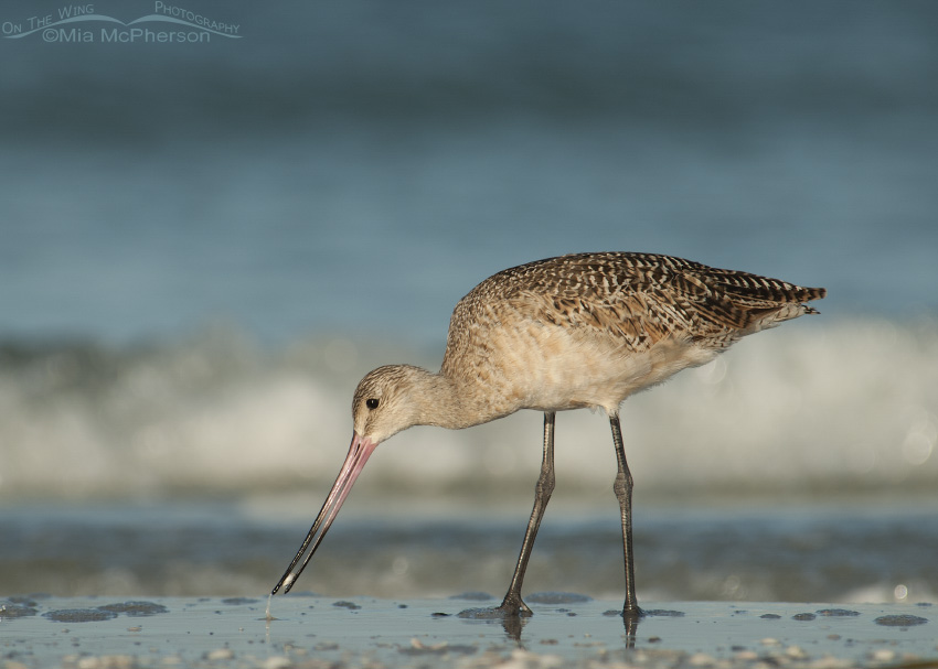 A Marbled Godwit feeding on the shore of the Gulf