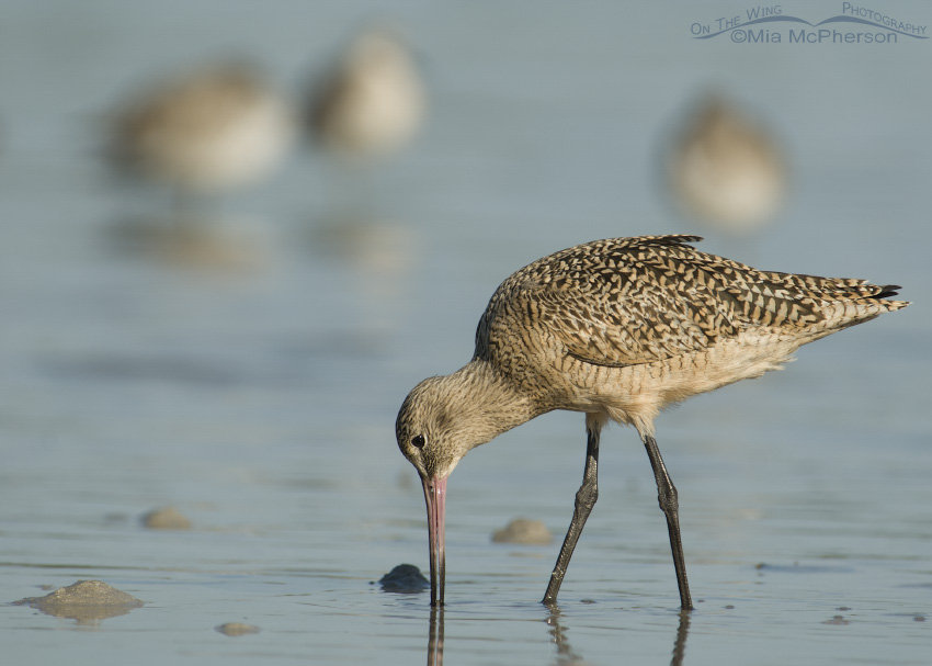Marbled Godwit and friends at Fort De Soto County Park