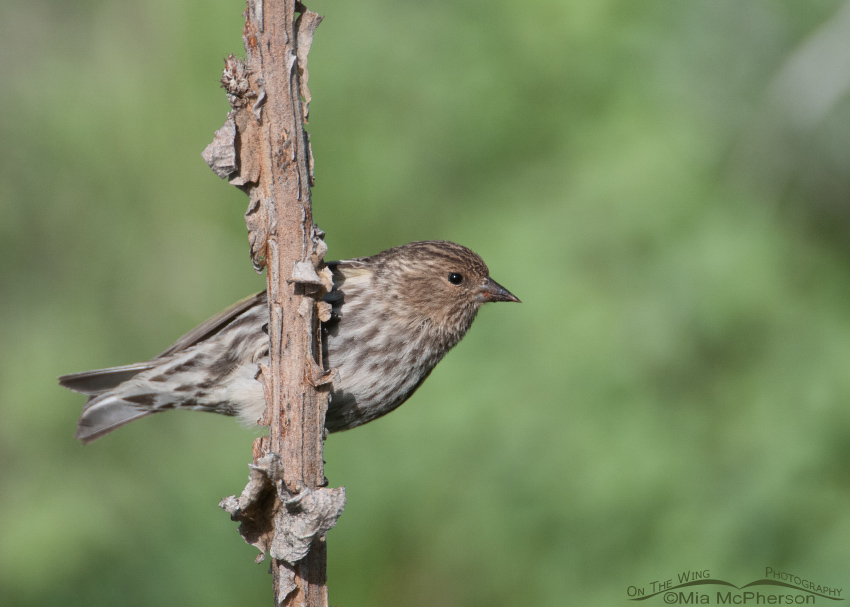 A Pine Siskin in Clark County, Idaho