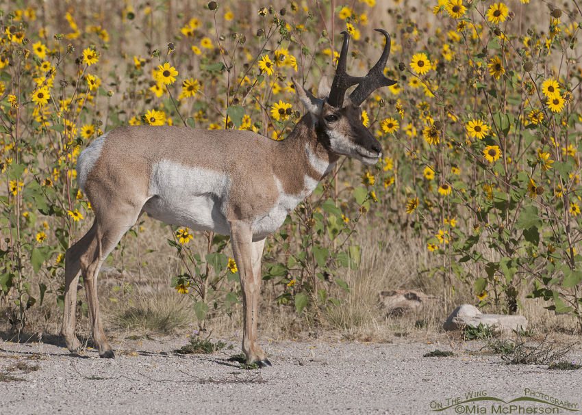 Pronghorn buck in wild Sunflowers I