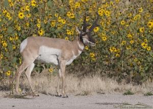 Pronghorn buck in wild Sunflowers III