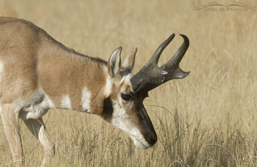 Pronghorn close up