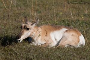 Resting Pronghorn doe