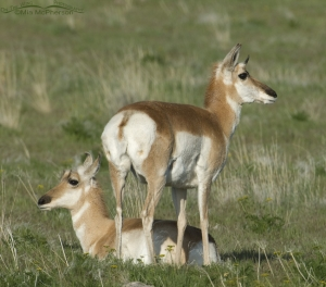 A pair of Pronghorn does on Antelope Island