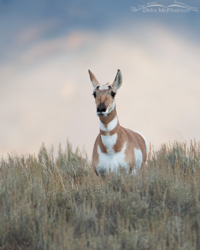 Pronghorn doe on the way to Cliff and Wade Lakes, Montana