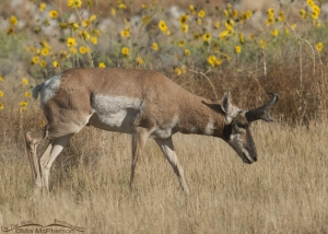 Male Pronghorn with sunflowers