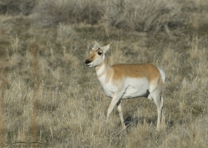 Yearling Pronghorn on Antelope Island