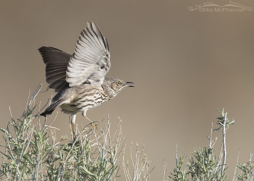 Sage Thrasher Courtship Display