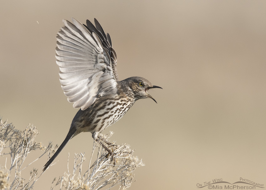 Sage Thrasher Bilateral Wing Display