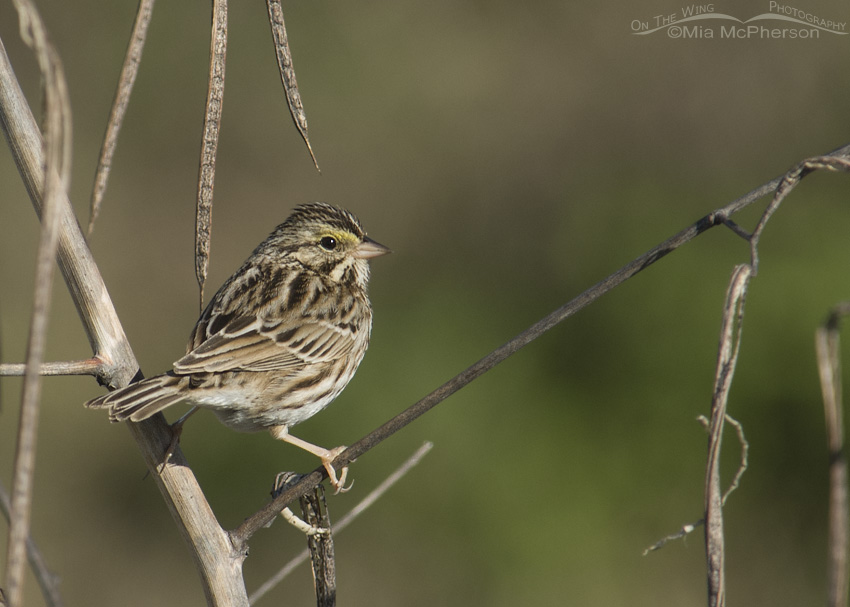 Savannah Sparrow with green background