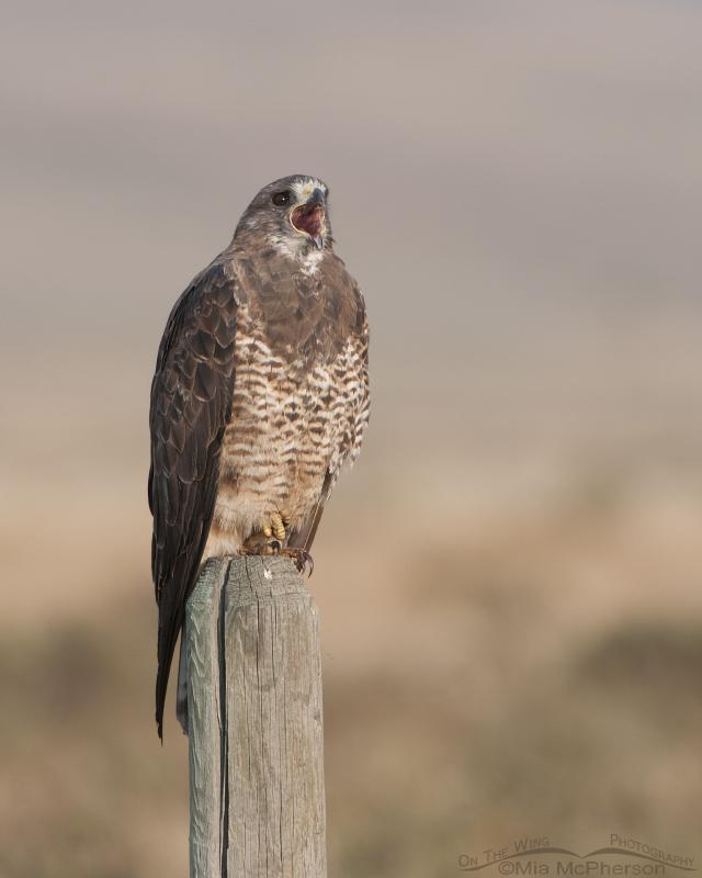 Adult Swainson's Hawk Calling