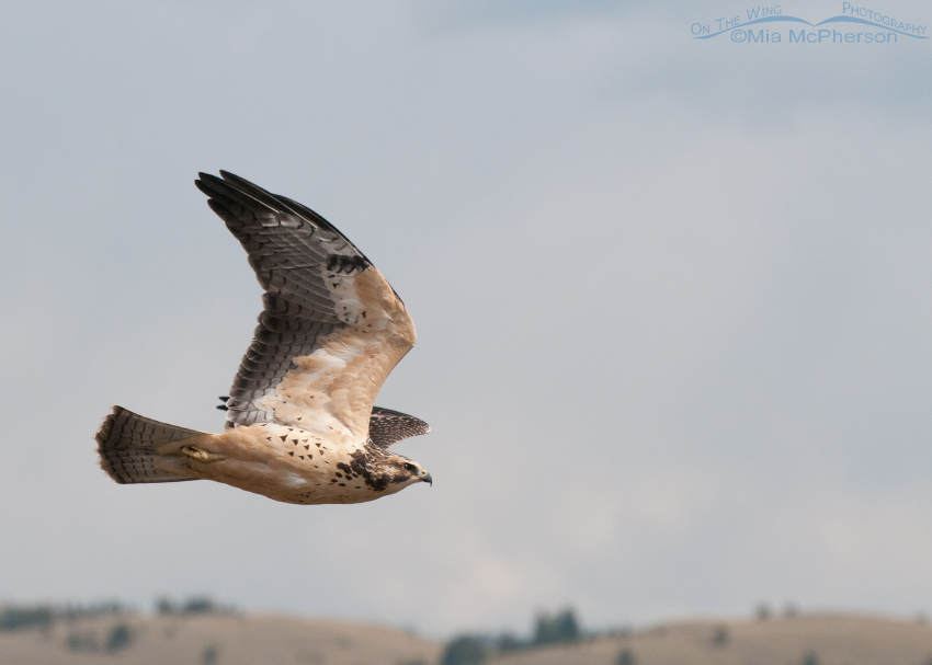 Juvenile Swainson's Hawk in flight