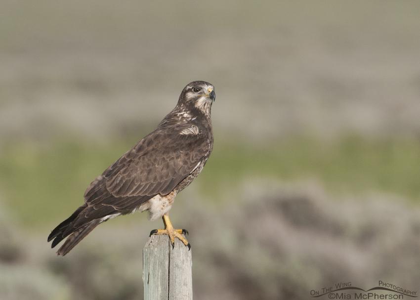 A sub-adult Swainson's Hawk