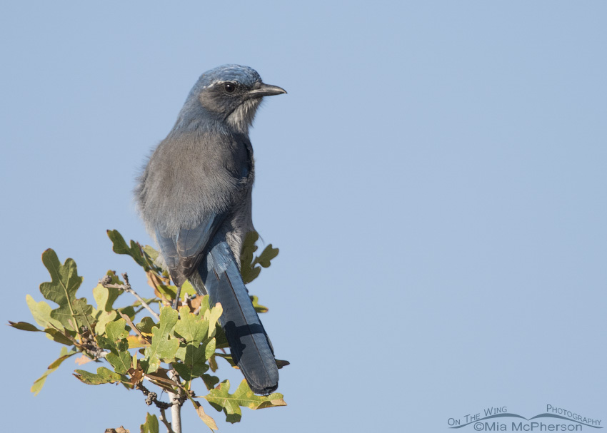 Woodhouse's Scrub-Jay adult