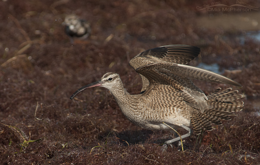 Whimbrel Threat Display