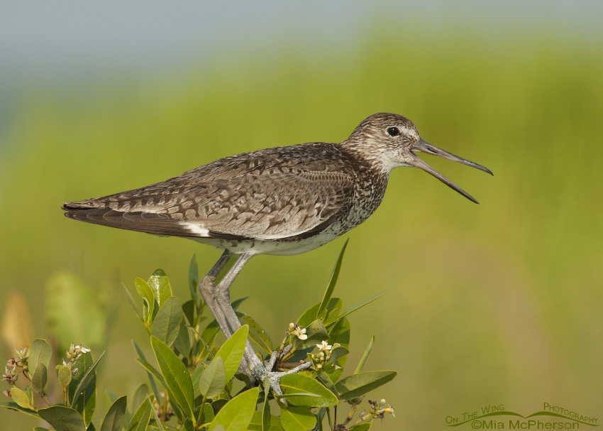 Eastern Willet calling