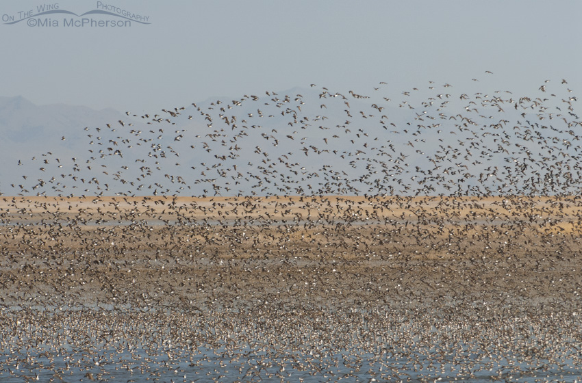 Wilson's Phalarope flock over the Great Salt Lake