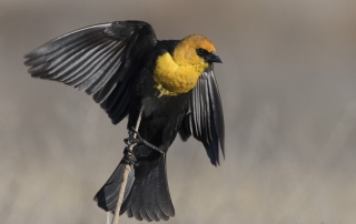 Yellow-headed Blackbird male just before lift off