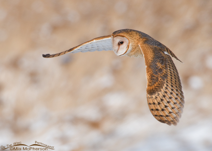 Adult Barn Owl in flight at Farmington Bay