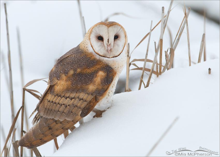 Barn Owl in winter marsh habitat