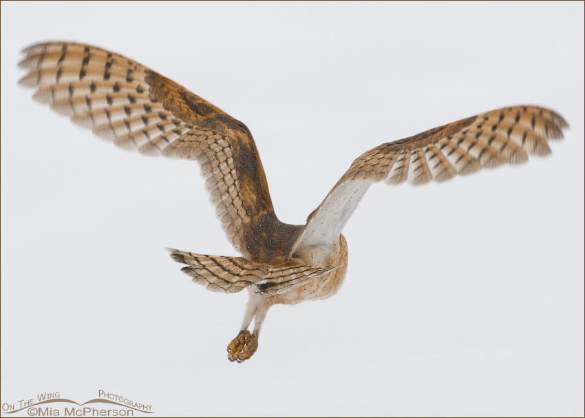 Barn Owl flying away