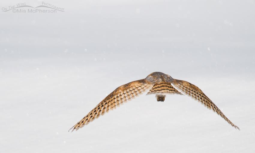 Barn Owl butt shot