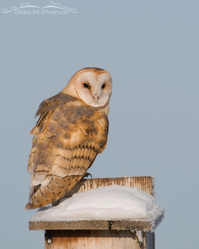 Barn Owl perched on a Kestrel nest box