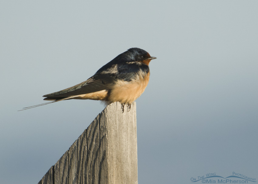 Barn Swallow on wooden post