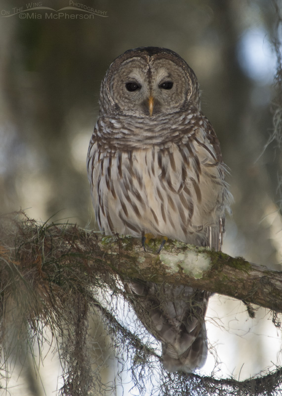 A Barred Owl at Lettuce Lake