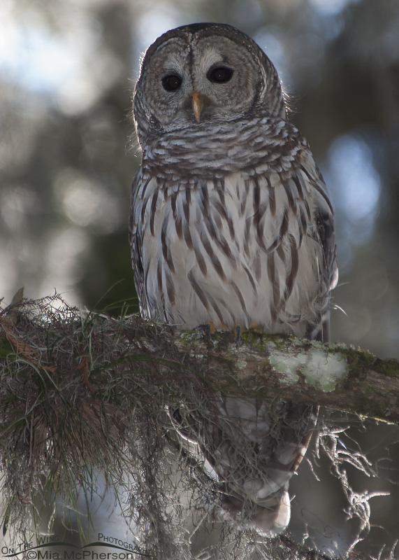 A Barred Owl and Spanish Moss