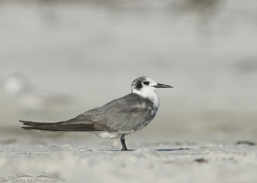 Black Tern Images