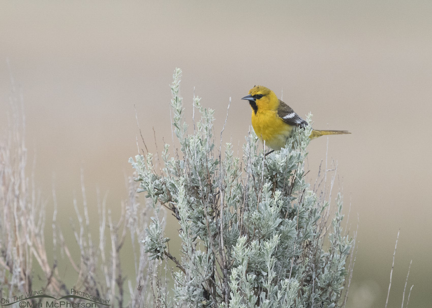 First year male Bullock's Oriole perched on Sagebrush