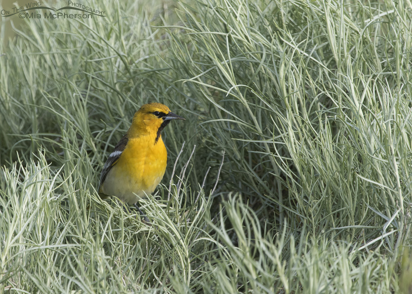 Rabbitbrush and a first year male Bullock's Oriole