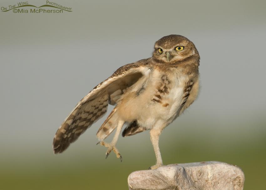 Juvenile Burrowing Owl stretching