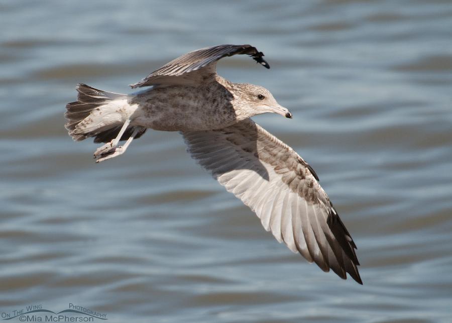 1st winter California Gull