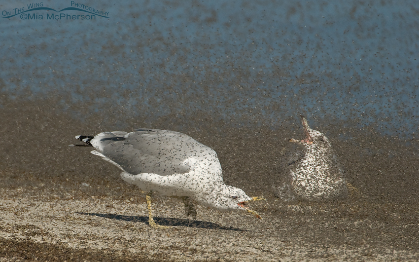 One California Gull actively feeding, the other is passively feeding