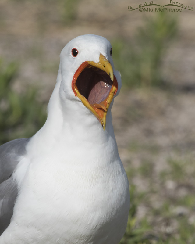 A California Gull with its bill wide open